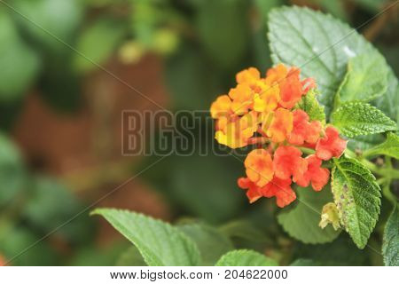 Beautiful Colorful Hedge FlowerLantana Weeping lantanaLantana camara LMedicinal plants have a variety of therapeutic properties