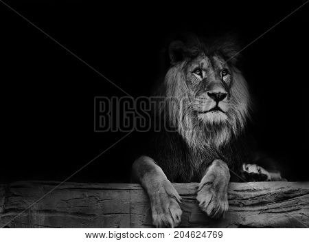 Beautiful lion with black backround. Black and white poster lion.