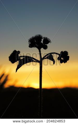 silhouette little Iron Weed in sunset - Stock Image