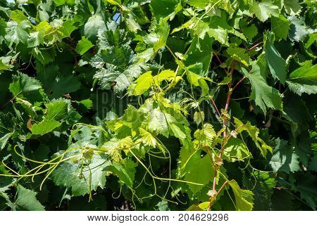 Bunch Of Grape In A Vine