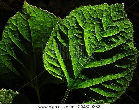 Closeup leaf glow in the dark - Stock Image