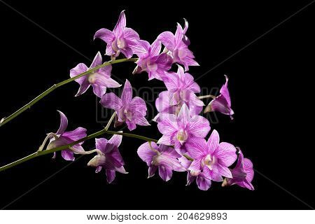 orchid on black background - Stock Image