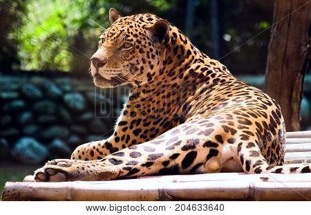 Leopard. Leopard taking rest. Leopard focusing on something.