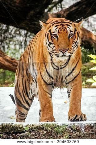 Tiger looking aggressively. Bengal Tiger close up shot.