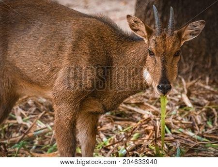 Deer. Deer eating green leaves. Deer looking towards camera.