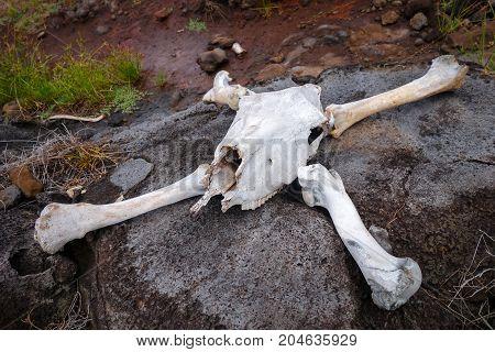 Horse skull and bones on easter island