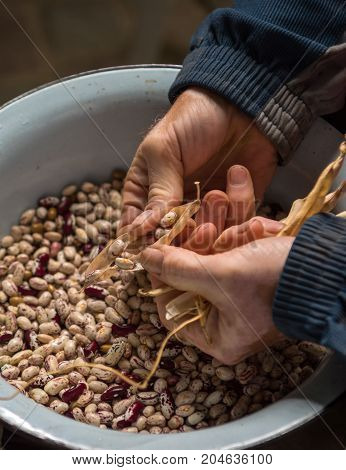 Close-up of man peeling pinto beans in the garden