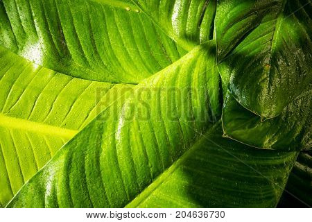 Close up of rain drop on natural green leaves background tropical foliage texture.