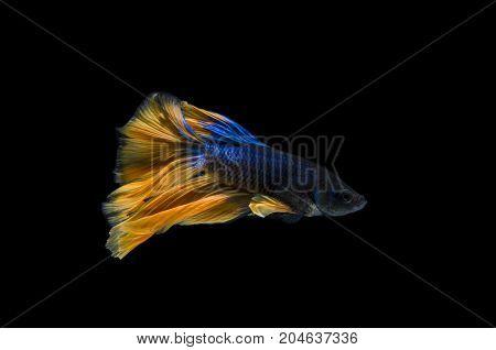 Beautiful Betta fish Siamese fighting fish or Betta splendens (Blue yellow color) on black background