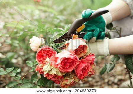 Flower gardening and maintenance concept. Close up shot of male hands with pruning shears working in garden. Gardener trimming off spray of spent or dead rose flowers using secateurs or pruners