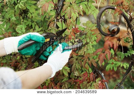 Unrecognizable female gardener standing at fencing in her garden wearing gloves using hedge shears while cutting wire that prevents growth of tree or shrub. Agriculture and gardening concept
