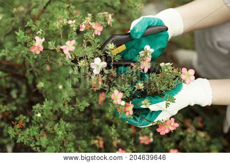 Close up view of gardening maintenance service male or female worker holding secateurs pruning shrubs of decorative plant with pink flowers to keep it in good condition and control its size and shape