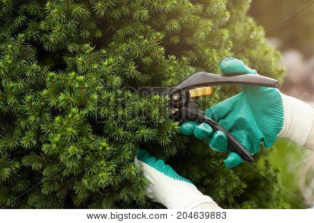 Close up shot of hands in working gloves cutting green bush using pruners in garden. Unrecognizable professional gardener working with hedge shears trimming plants. Gardening service concept