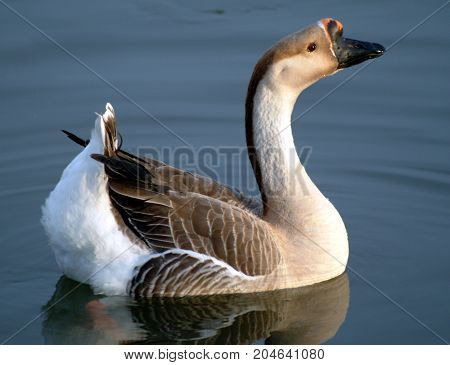 An African Goose swimming on a lake