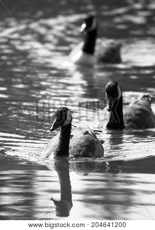 Black and white photo of three Canada Geese swimming