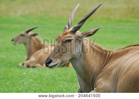 A couple of Eland take a break