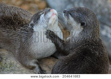 One Otter grooming another under it's chin