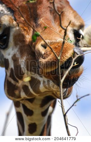 A Giraffe strips leaves off a tree with its tongue
