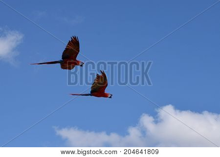 A pair of Macaw Parrots on the wing