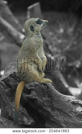 Portrait of a Meerkat sitting on a tree stump