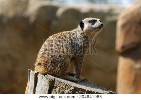 A cheeky looking meerkat sitting on a log