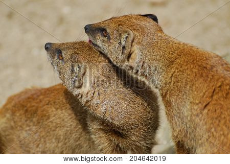 A pair of Mongooses grooming one another