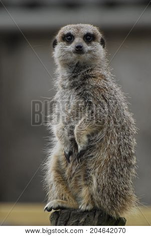 A Meerkat perched on a log looking at the camera
