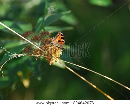 a Small Tortoiseshell Butterfly sat on a blossom
