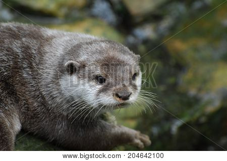 An Otter staring intently into the distance