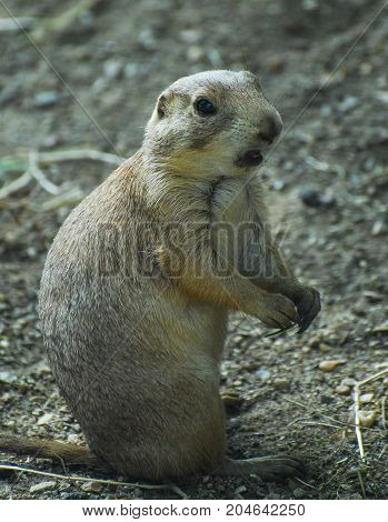 Chattering Groundhog sitting up with it's paws together