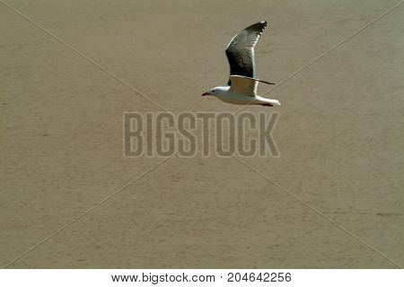 Gull on the wing, flying over a deserted beach