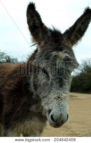 A Portrait of a wild New Forest Donkey