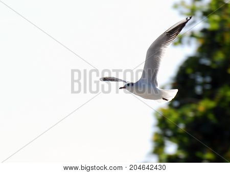 A Black headed Gull on the wing in it's winter plumage