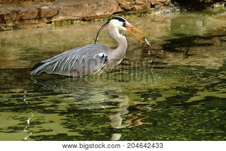 A Grey heron eating a fish from a pool