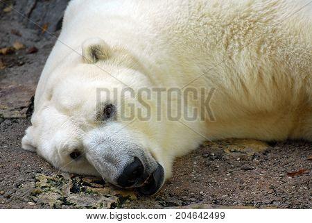 A Polar Bear lying down in a zoo