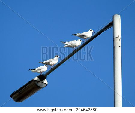 Four Black Headed Gulls perched on a lamppost