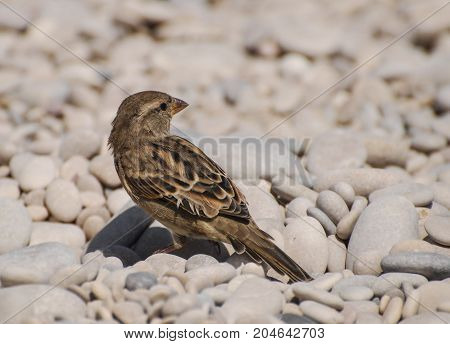 A Common House Sparrow standing on pale stones