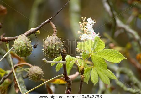 Confused Chestnut Tree With Blossom And Fruit Together