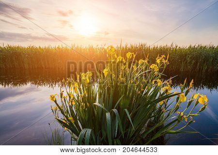 Beautiful yellow iris flowers in the rays of the dawn sun