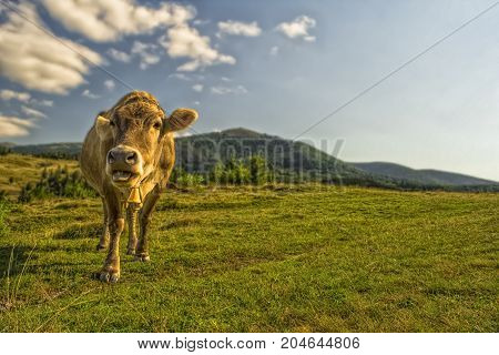 Bronw cow faces the camera in bright sunny day in mountains. Beautiful background