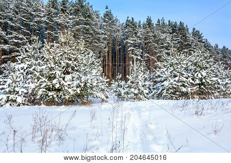 winter rural landscape with forest snow and path. wintry snowy field and forest