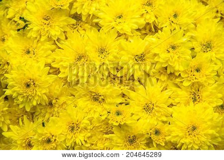 A field of bright, sunny, happy, yellow mums.