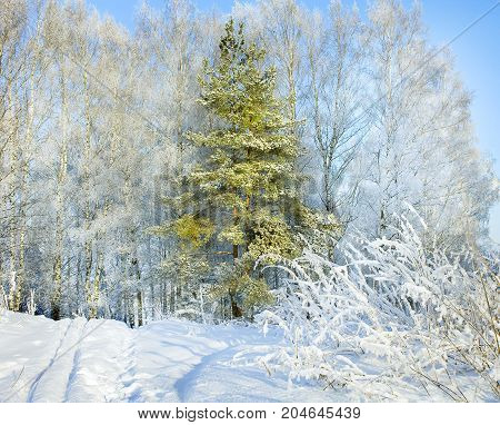 rural winter snowy landscape with forestfootpath and blue sky. trees covered with snow. wintry frosty day