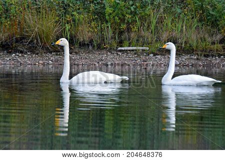 Two whooper swans swimming on calm lake.