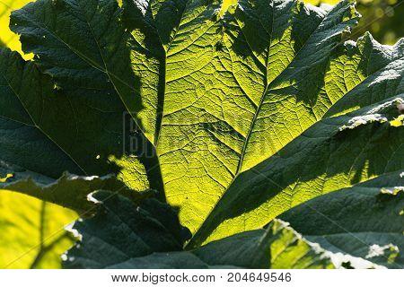 Brazilian Giant Rhubarb (gunnera Manicata)