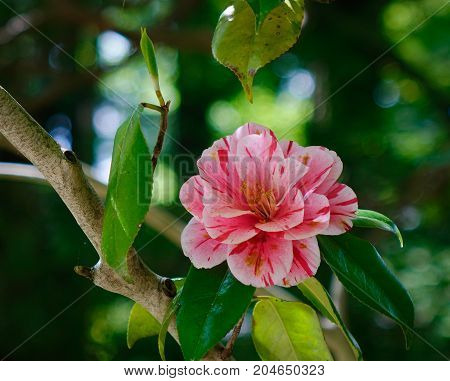 Beautiful Red Flower Of Japanese Camellia