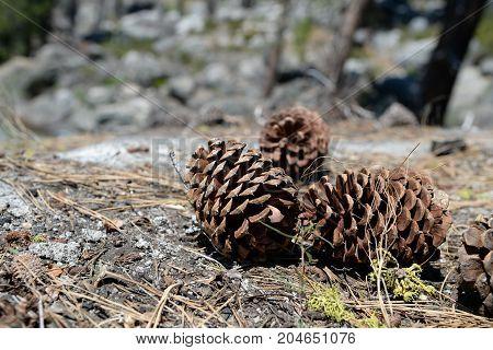 Pine Cones Close Up In Yosemite National Park