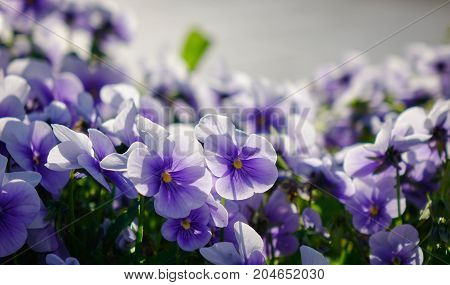 Purple Pansee Flowers Blooming At The Park