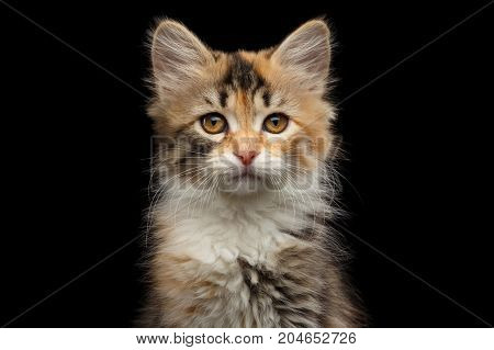 Portrait of Three colored Tabby Siberian kitten looking at camera on isolated black background, front view