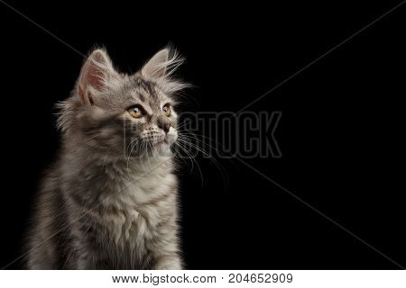 Portrait of Silver Tabby Siberian kitten looking up on isolated black background, profile view